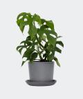 Philodendron Minima in a stone pot, Plants & Pots