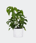 Philodendron Minima in a white concrete cylinder, Plants & Pots