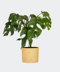 Philodendron Minima in a yellow concrete cylinder, Plants & Pots
