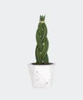 Sansewieria Cylindryczna Warkocz w białej doniczce betonowej hex, Plants & Pots