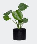 Monstera Dziurawa w czarnej doniczce walec, Plants & Pots