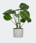 Monstera Dziurawa w szarym betonowym walcu, Plants & Pots