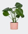 Monstera Dziurawa w różowym betonowym walcu, Plants & Pots