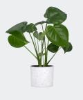 Monstera Dziurawa w białym betonowym walcu, Plants & Pots