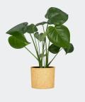 Monstera Dziurawa w żółtym betonowym walcu, Plants & Pots