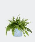 Nefrolepis Wyniosły w niebieskiej doniczce betonowej, Plants & Pots