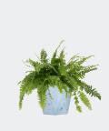 Nefrolepis Wyniosły w niebieskiej doniczce betonowej hex, Plants & Pots