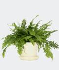 Nefrolepis Wyniosły w kremowej doniczce ceramicznej, Plants & Pots