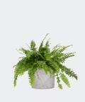 Nefrolepis Wyniosły w szarej doniczce betonowej, Plants & Pots