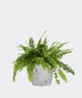 Nefrolepis Wyniosły w szarej doniczce betonowej hex, Plants & Pots