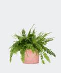 Nefrolepis Wyniosły w różowej doniczce betonowej, Plants & Pots
