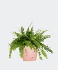Nefrolepis Wyniosły w różowej doniczce betonowej hex, Plants & Pots