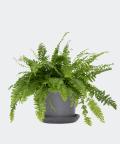 Nefrolepis Wyniosły w kamiennej doniczce ceramicznej, Plants & Pots