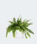 Nefrolepis Wyniosły w białej doniczce betonowej, Plants & Pots