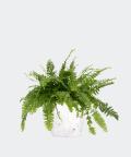 Nefrolepis Wyniosły w białej doniczce betonowej hex, Plants & Pots