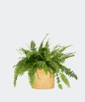 Nefrolepis Wyniosły w żółtej doniczce betonowej, Plants & Pots