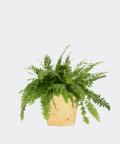 Nefrolepis Wyniosły w żółtej doniczce betonowej hex, Plants & Pots