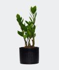 Zamiokulkas zamiolistny w czarnej doniczce walec, Plants & Pots