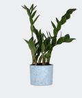 Zamiokulkas Zamiolistny w niebieskim betonowym walcu, Plants & Pots