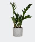 Zamiokulkas Zamiolistny w szarym betonowym walcu, Plants & Pots