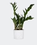 Zamiokulkas Zamiolistny w białym betonowym walcu, Plants & Pots