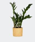 Zamiokulkas Zamiolistny w żółtym betonowym walcu, Plants & Pots
