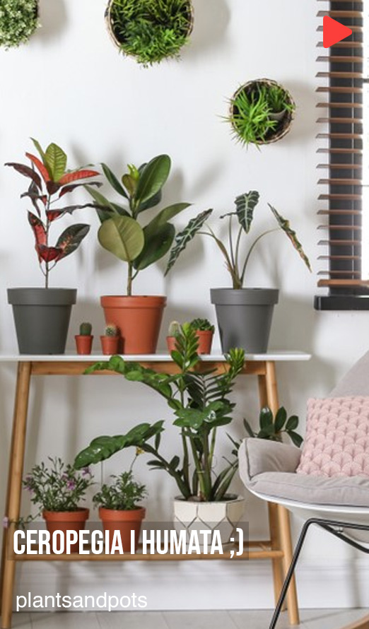 plantsandpots - Ceropegia i Humata ;)