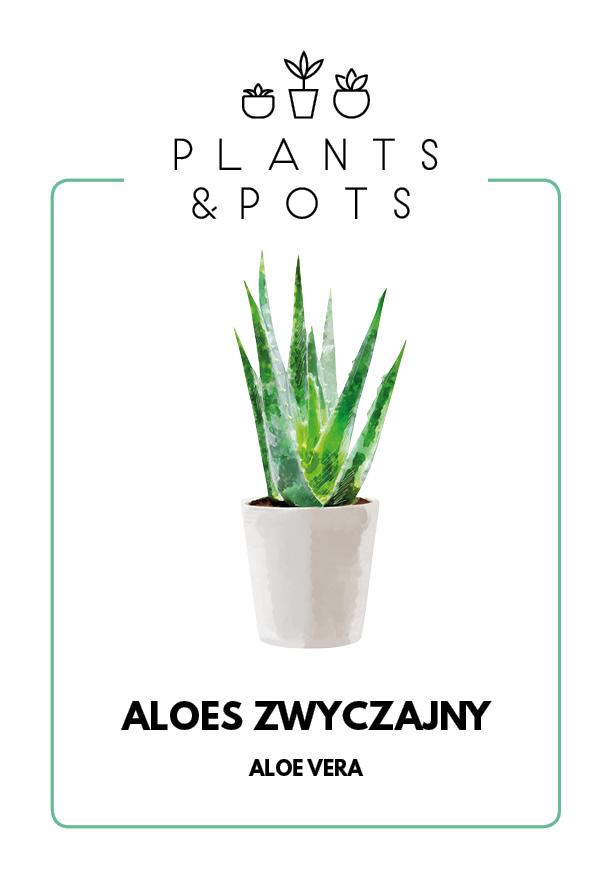 Aloes Zwyczajny - Pielęgnacja