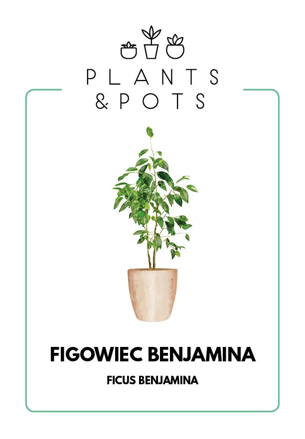 Figowiec Benjamina - Pielęgnacja