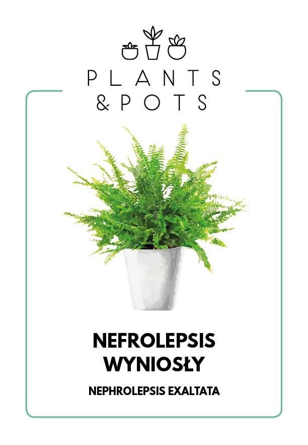 Nefrolepis Wyniosły - Paprotka