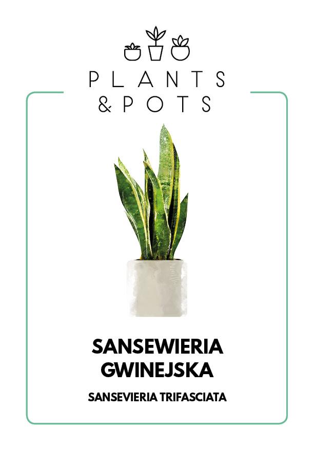 Sansewieria Gwinejska - Pielęgnacja rośliny
