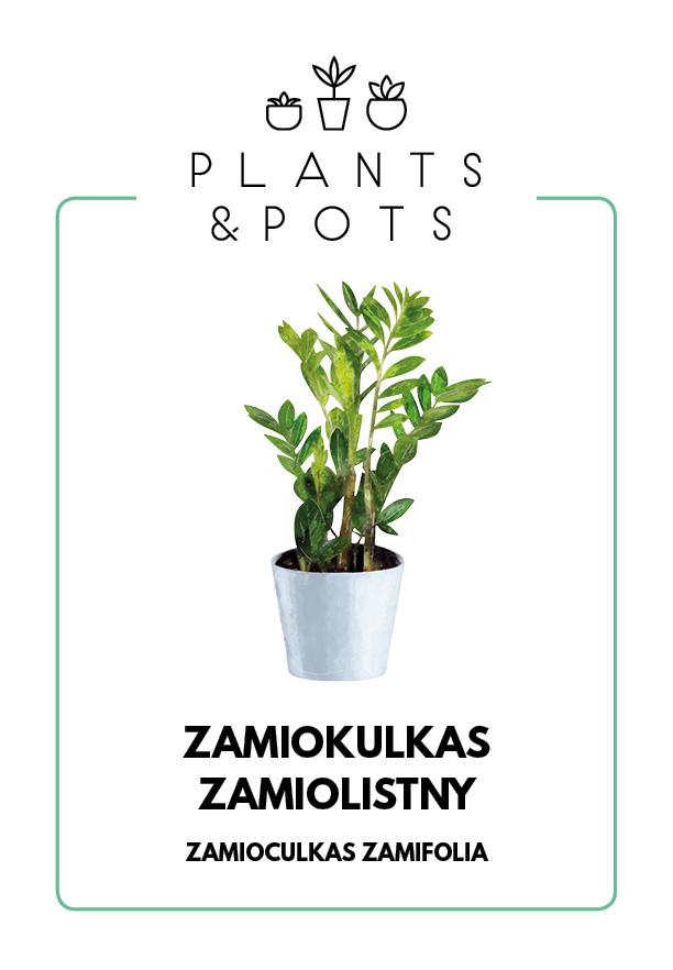 Zamiokulkas Zamiolistny - Pielęgnacja rośliny