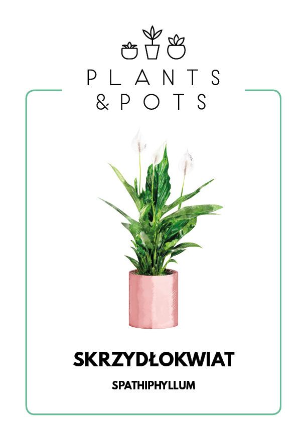 Skrzydłokwiat - Pielęgnacja rośliny