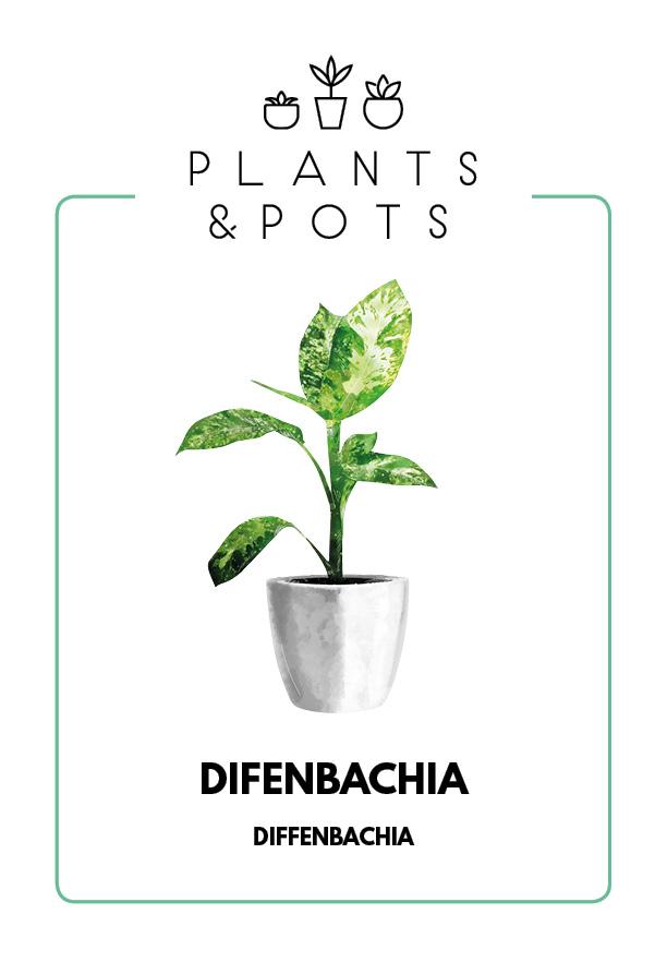 Difenbachia - Pielęgnacja rośliny