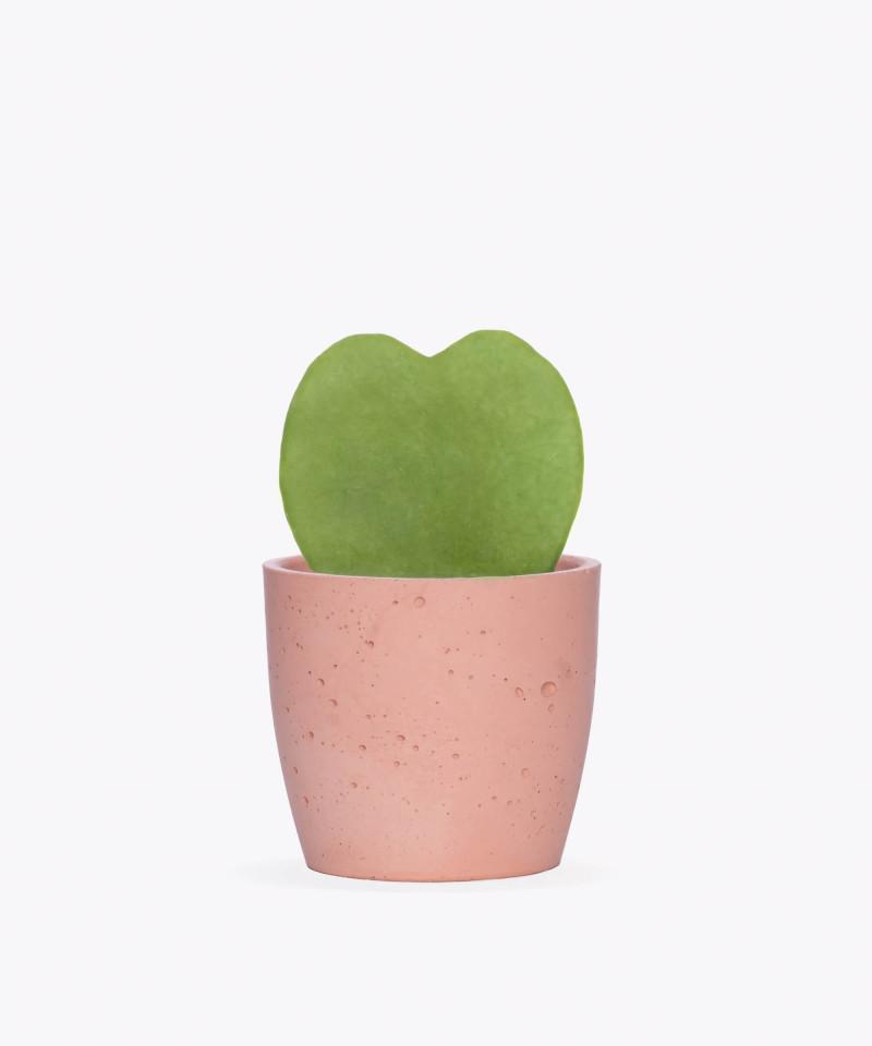 Hoja Kerri w różowej doniczce betonowej