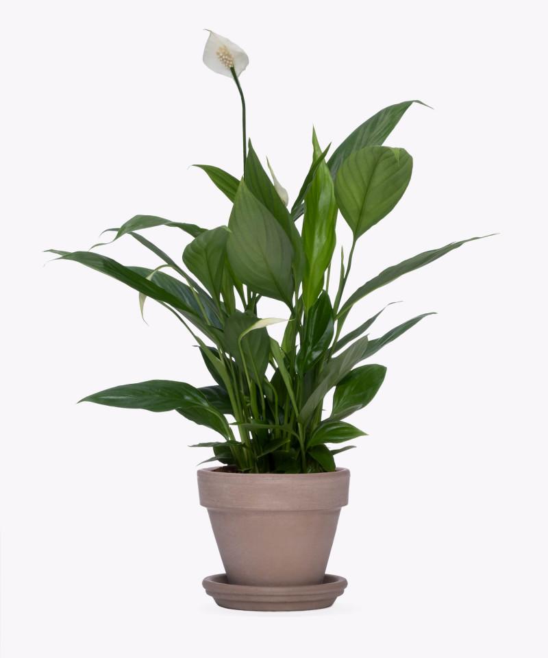 Skrzydłokwiat w szarej doniczce ceglanej