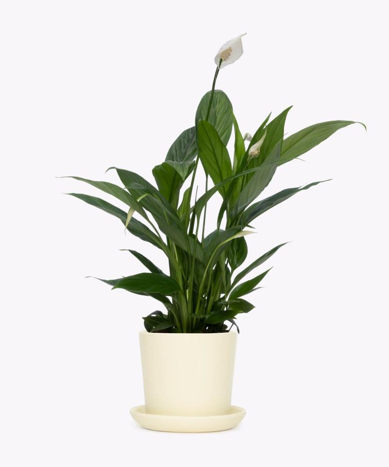 Skrzydłokwiat w kremowej doniczce ceramicznej