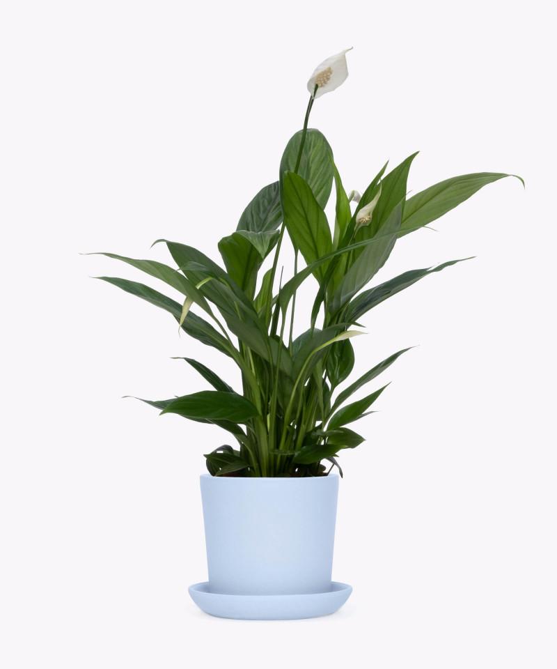 Skrzydłokwiat w niebieskiej doniczce ceramicznej