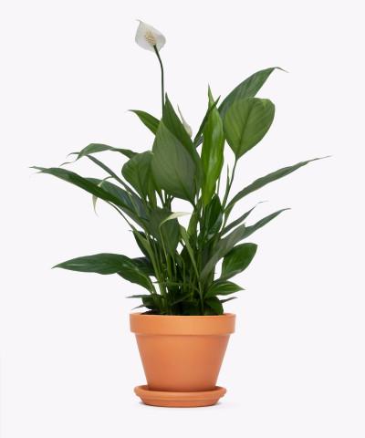 Skrzydłokwiat w doniczce ceglanej