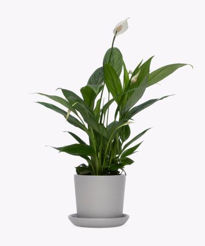 Skrzydłokwiat w szarej doniczce ceramicznej