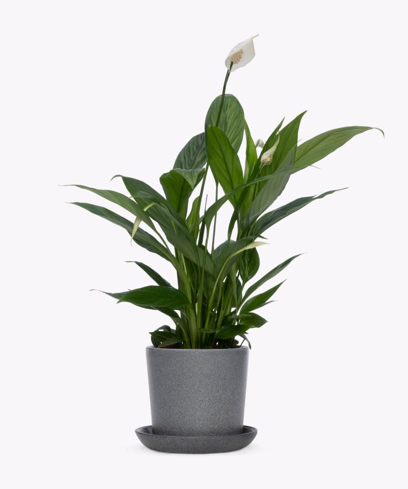 Skrzydłokwiat w kamiennej doniczce ceramicznej