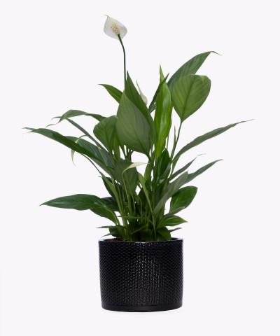 Skrzydłokwiat w czarnej doniczce walec