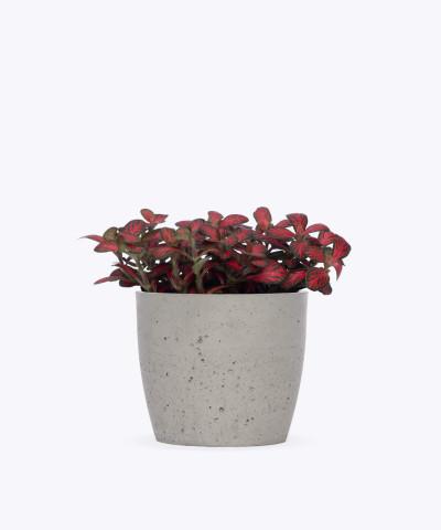 Fitonia Różowa w szarej doniczce betonowej