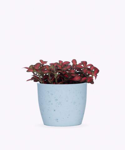 Fitonia Różowa w niebieskiej doniczce betonowej