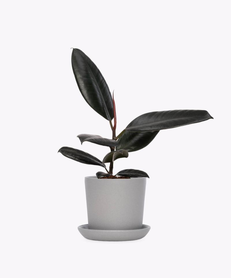 Figowiec sprężysty w szarej doniczce ceramicznej