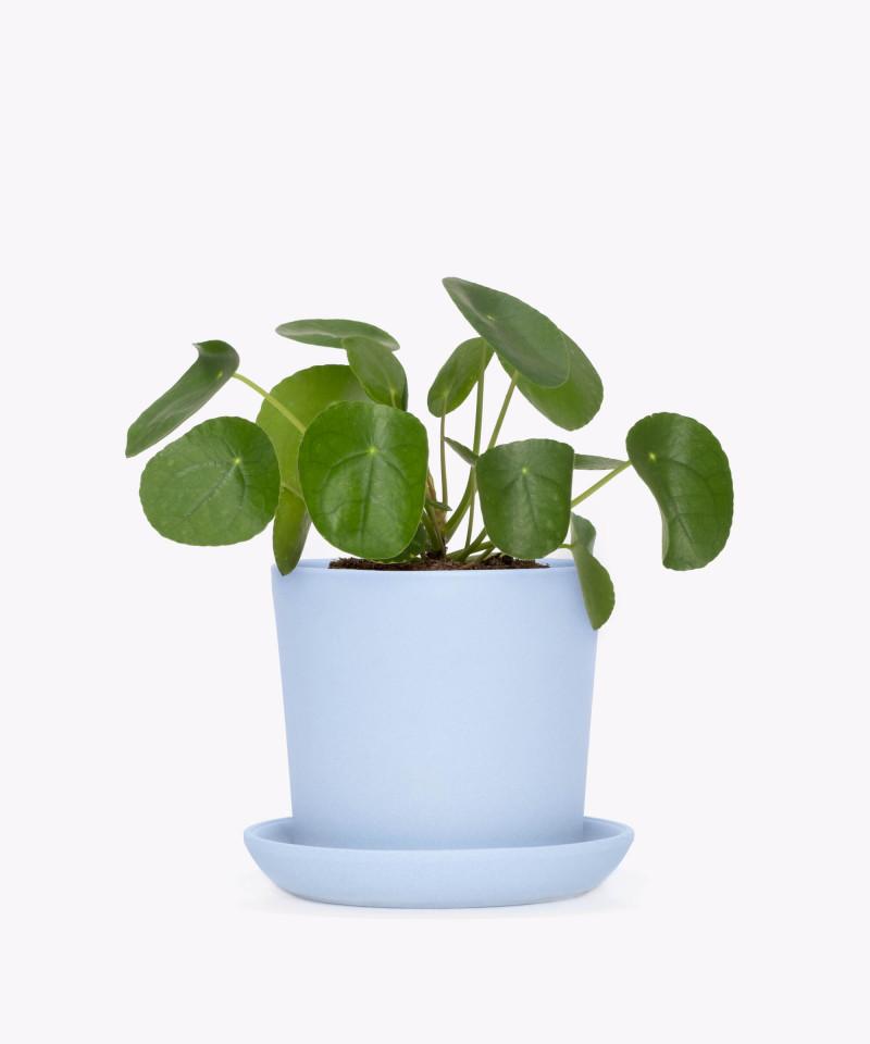 Pilea Peperomiowata w niebieskiej doniczce ceramicznej