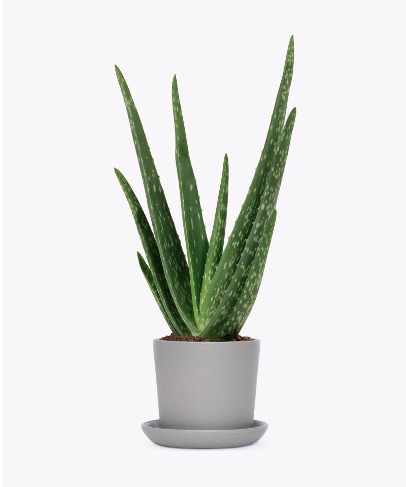 Aloes zwyczajny w szarej doniczce ceramicznej