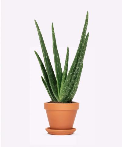 Aloes zwyczajny w doniczce ceglanej