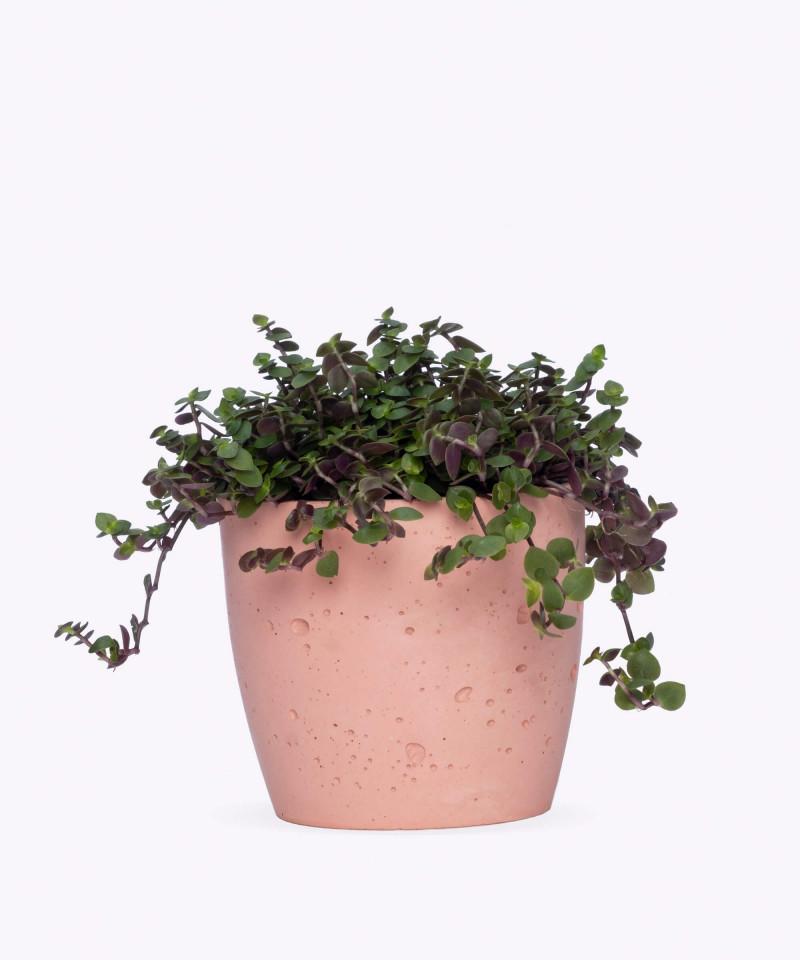 Smużyna Płożąca w różowej doniczce betonowej