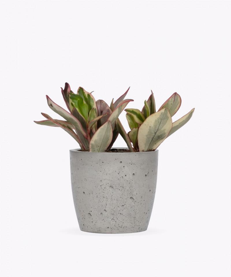 Peperomia Kluzjolistna w szarej doniczce betonowej